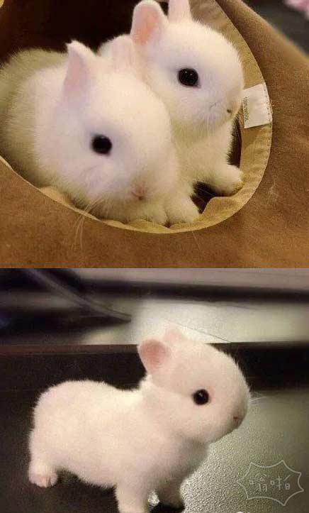 网友拍摄的自家养的小兔纸,艾玛。。。短短的腿,短短的耳朵。。。萌翻了。。。。这还是兔子吗?好想养一只