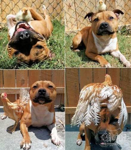 记住斗牛犬与鸡的图片?在这里,他们再次长大了的公鸡!