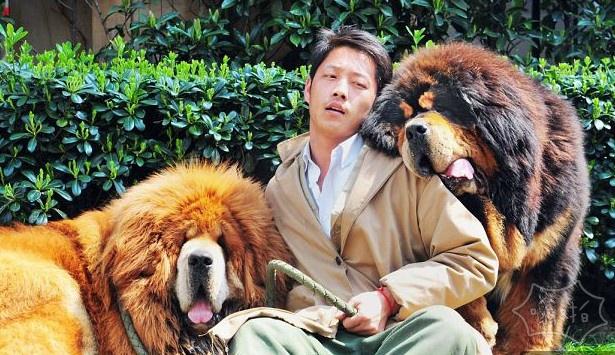 世界上最昂贵的狗:藏獒幼犬在中国的售价为1200万