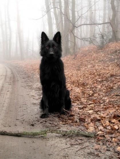 血红色的眼睛黑色的猎犬。