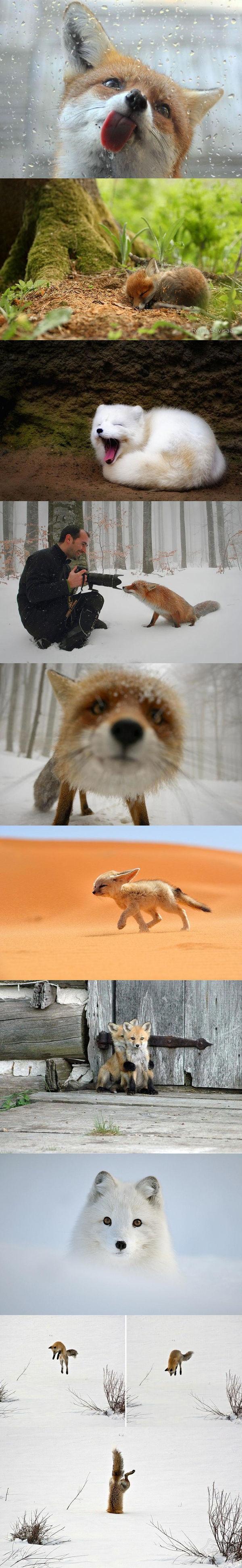 狐狸是一种比较喜欢卖萌犯二的萌物 来自摄影师镜头中的狐狸 看到最后笑喷了