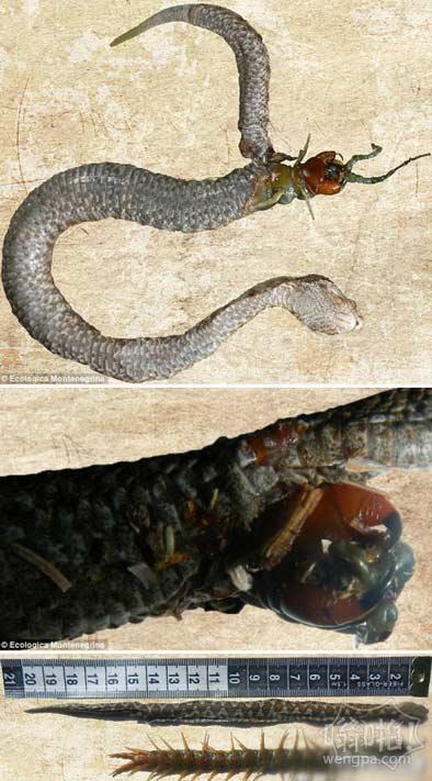 """大蜈蚣勇斗""""贪吃蛇"""",两大高手同归于尽"""