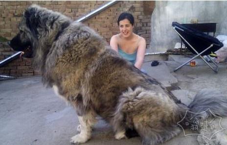 高加索犬(又名俄罗斯熊犬)雄性达到了100公斤 一直以来都被用来狩猎熊