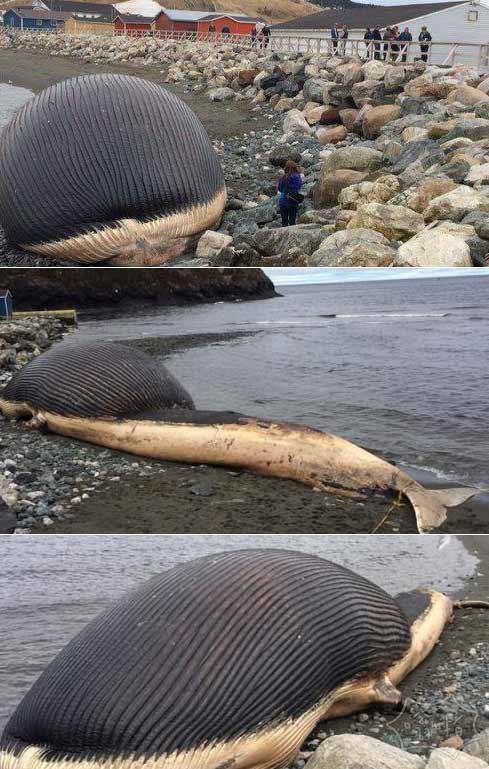 加拿大搁浅蓝鲸恐爆炸 游客不顾安危争相目睹
