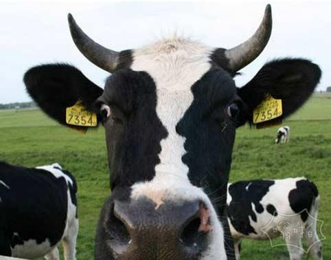 这张牛脸上有两张人脸~