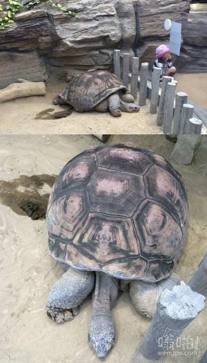 比小孩还大的乌龟,大家可以猜猜它多少岁了