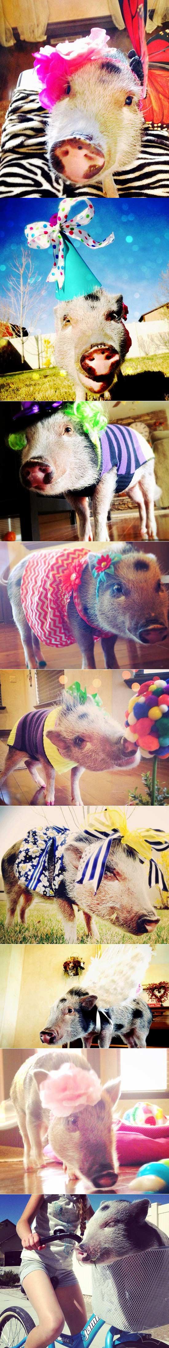时髦的小猪,Instagram上有43000追随者