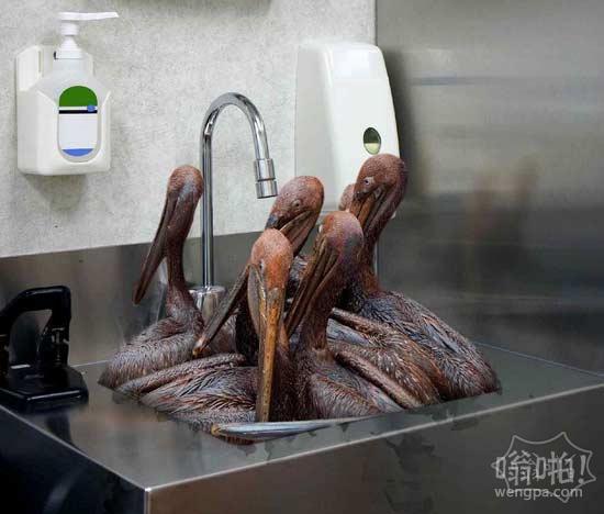 懒野生动物救助者让油性鹈鹕堆积在水槽5天