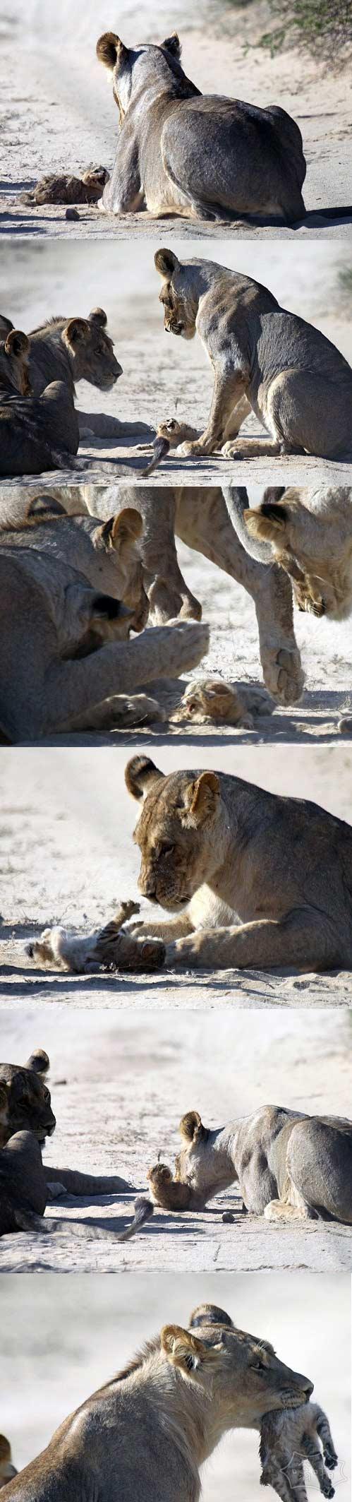 最勇敢的小猫咪:野猫微小划痕和嘘声母狮的骄傲围绕着它……但它并没有在结尾如同他们