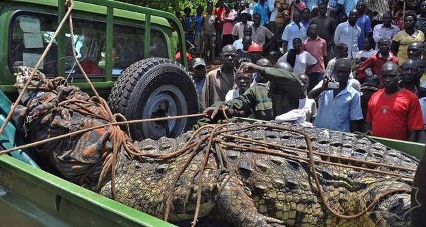 乌干达捕获1吨重巨鳄 该鳄鱼被指已吃掉6人
