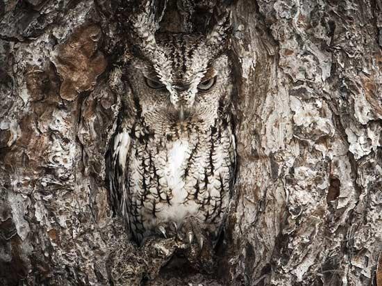隐形猫头鹰