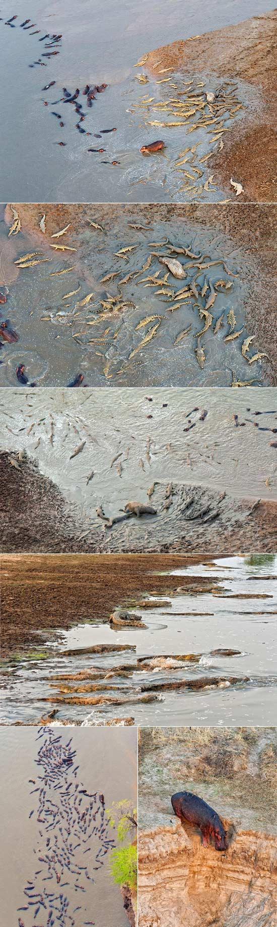 两个帮派之争:赞比亚上百条鳄鱼和河马之间的PK