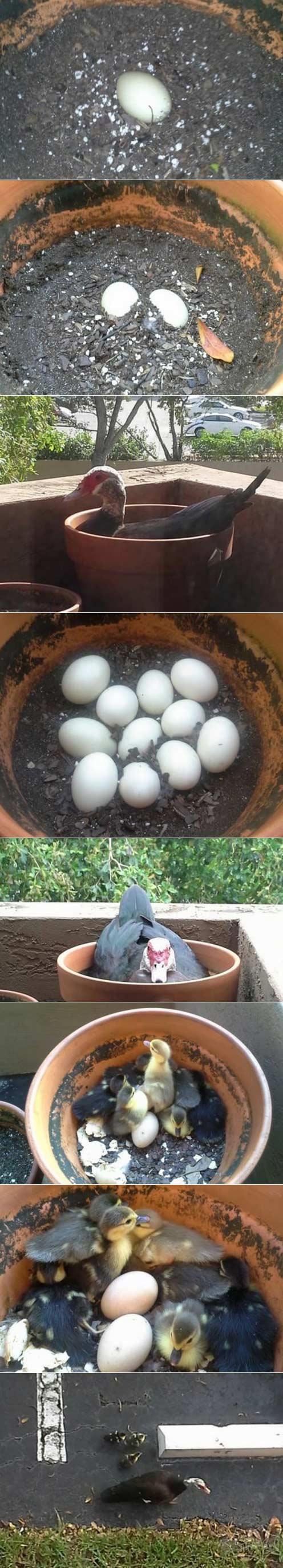 一只鸭子在我家阳台建立一个家庭