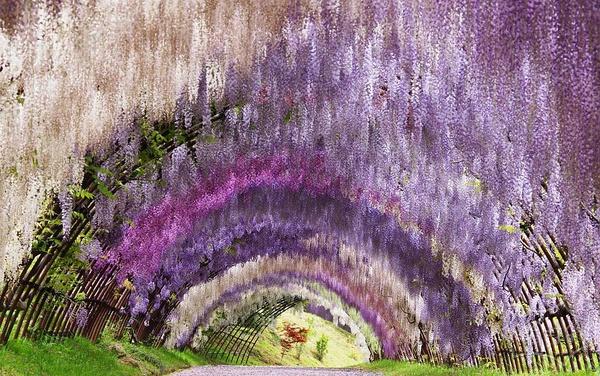 紫藤の花 日本河内藤园