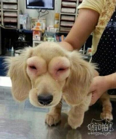 朋友早上传来一张照片,说是同事的朋友家的狗狗过敏,然后就变成这样了~据说是在家乱吃乱咬的结果~~觉得好可怜,可是又忍不住笑喷~