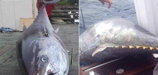 女子钓到823斤重金枪鱼 价值200万美元
