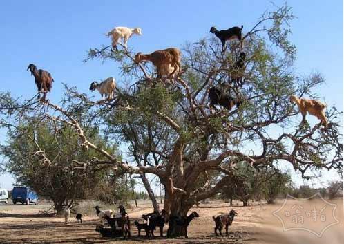 树上结了好多羊果子