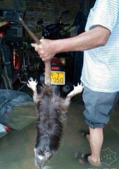 13斤大老鼠:这老鼠都快成精了