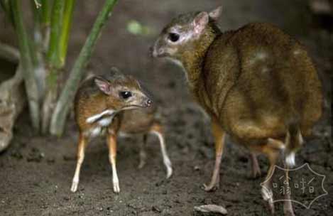 濒临灭绝的仓鼠大小的鹿在西班牙动物园出生
