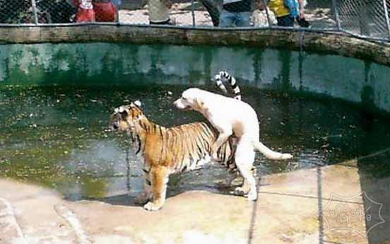 狗日的老虎