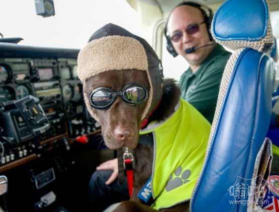 拉布拉多开飞机  与主人一起飞行了8000多公里