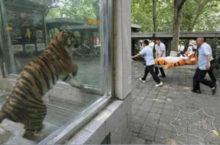 动物园向老虎演示如果它往外跑会有什么样的后果