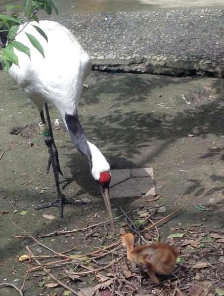 丹顶鹤喂宝宝,太有爱了!