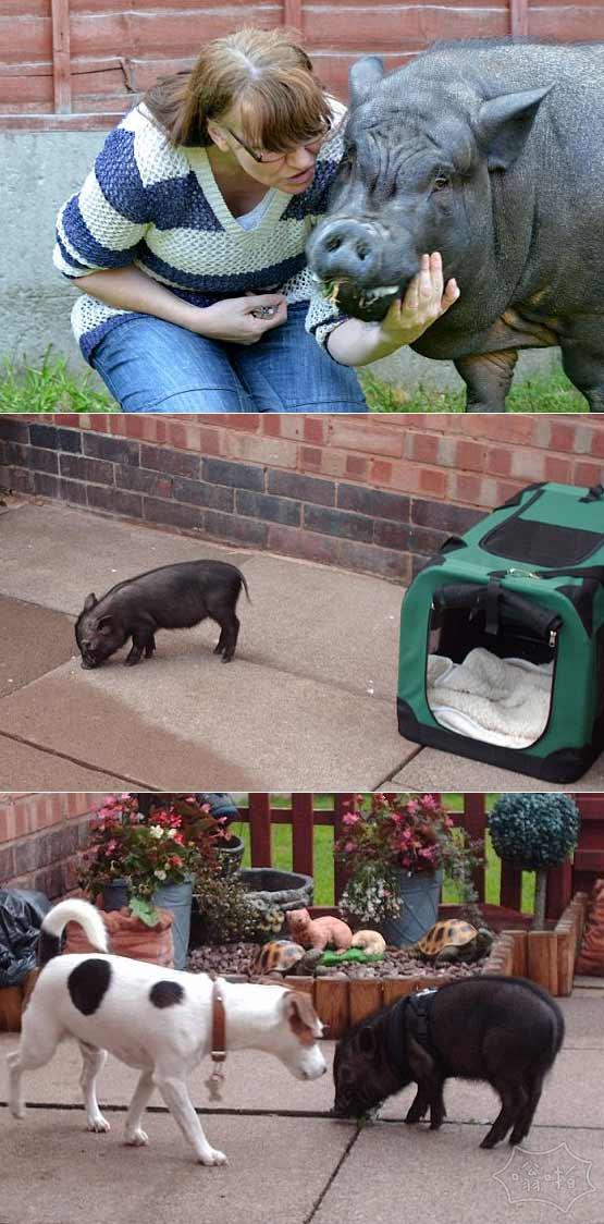 4年前买的微型迷你猪变成300斤重的大肥猪