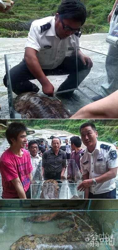 村民捡到50斤重野生娃娃鱼 价值20万