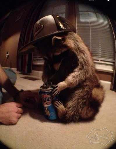 有网友养了一只浣熊,然后…他把浣熊养成了一只开罐器……