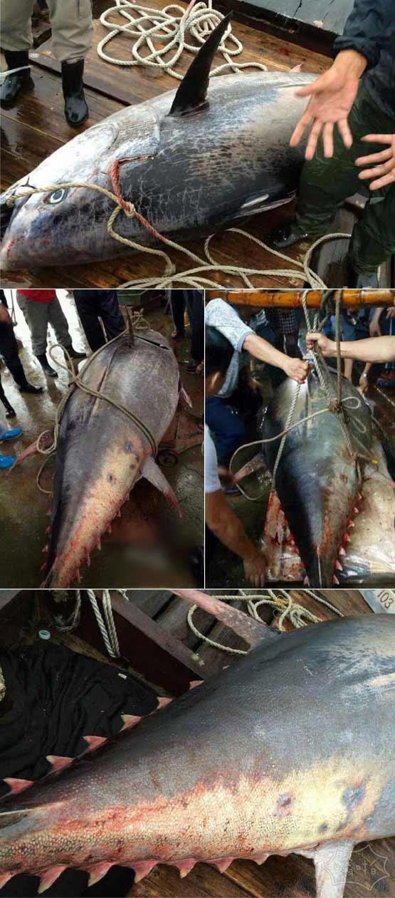 渔民瞬间变土豪:汕尾渔民捕到巨大蓝鳍金枪鱼 预估可卖上千万元