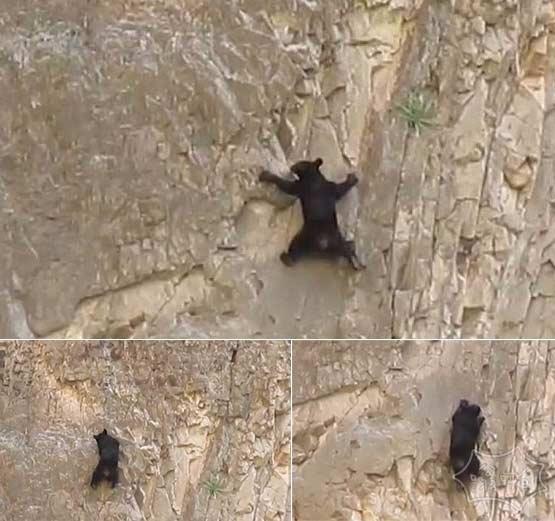 黑熊不光会爬树还是攀岩高手(视频)
