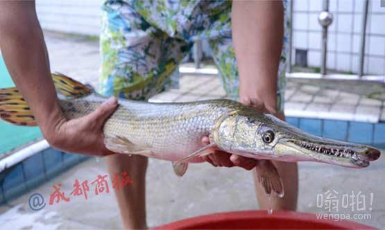 男子池塘钓起长满尖牙的食肉长嘴怪鱼 通吃水中活物