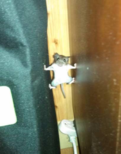 国外网友sharkyshark7家的喵星人追赶一只老鼠,结果老鼠被逼无奈挑战了一次身体极限