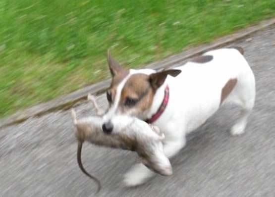 狗拿耗子:汪星人抓大老鼠,这么屌喵星人知道吗