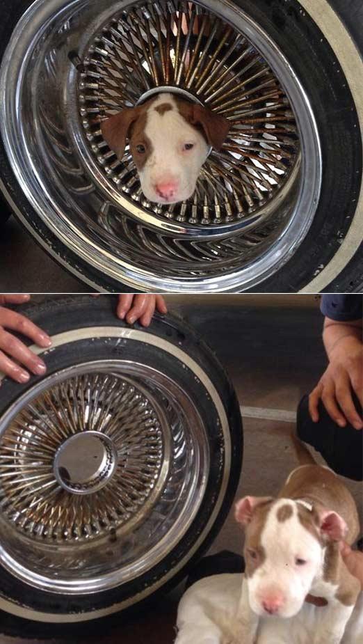 顽皮的小狗头被困在一个闪亮的轮辋中间 – 但最终被一些食用油中解脱出来