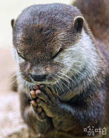 """可爱水獭饭前""""祈祷"""""""