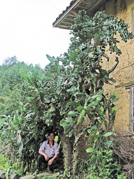 湖南7米高仙人掌树王  30岁仙人掌树王冠幅3米花开千朵 树下可乘凉