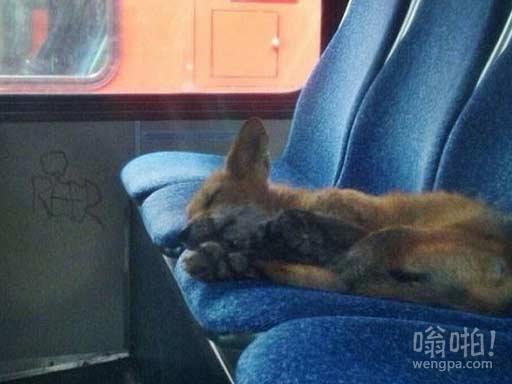 小狐狸公交车上舒服酣睡