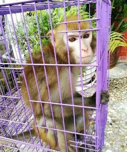 日前有只台湾猕猴入侵嘉义大埔便利商店偷吃零食,消防人员与居民合力追捕制伏。报道曝光后,网友对这只猴子超级惊艳,说它眉宇间有股傲气,帅气的脸庞,根本就是猴界「金城武」
