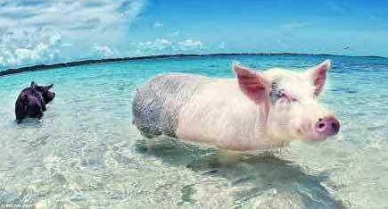 一天到晚游泳的猪(gif图)
