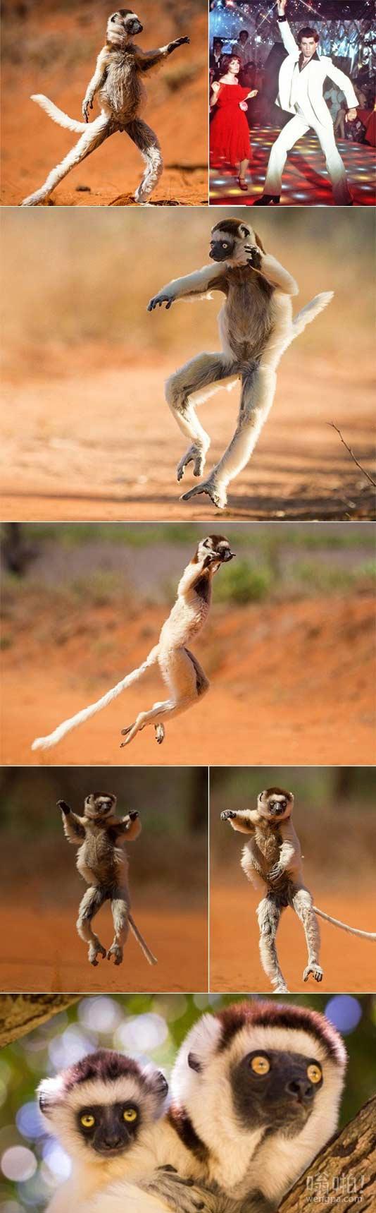 马达加斯加耍帅狐猴炫耀自己的令人印象深刻的舞蹈动作