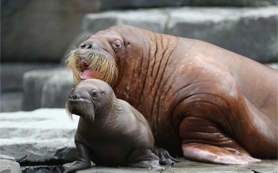 德国动物园海象妈妈和她的孩子。。萌萌哒。。哈哈