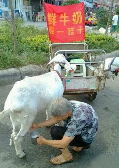 奶是很鲜,不过这牛有点小