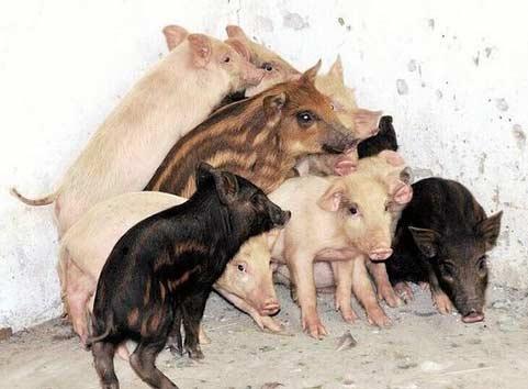 母猪跳出猪圈进山数月 回家领回13头小野猪(图)