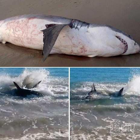 吃货大白鲨吞食海狮被噎死(视频)