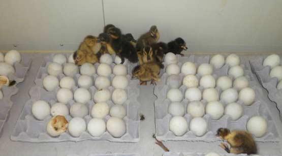 韩国警察没收鸭蛋欲销毁 数十只小鸭破壳而出
