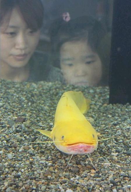 日本展出金色鲶鱼 粉色嘴浑身金黄非常罕见