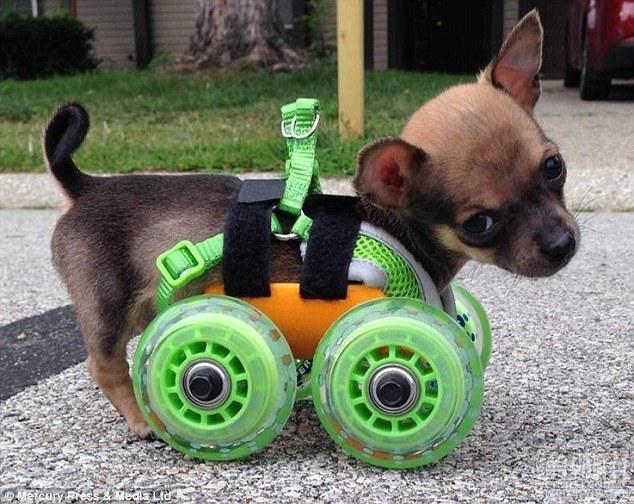装上3D打印轮椅的吉娃娃狗