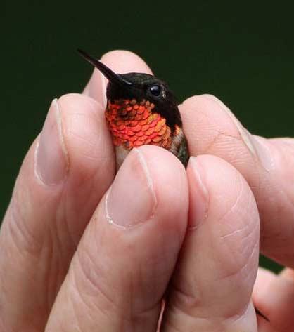 一个小小的红宝石喉蜂鸟